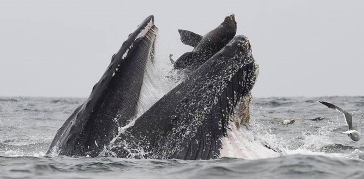 La verdad detrás de la fotografía de la ballena con un león marino en su boca