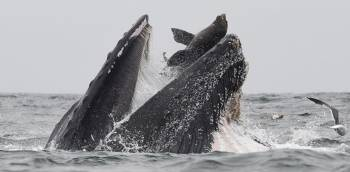 Una ballena con un lobo marino en su boca
