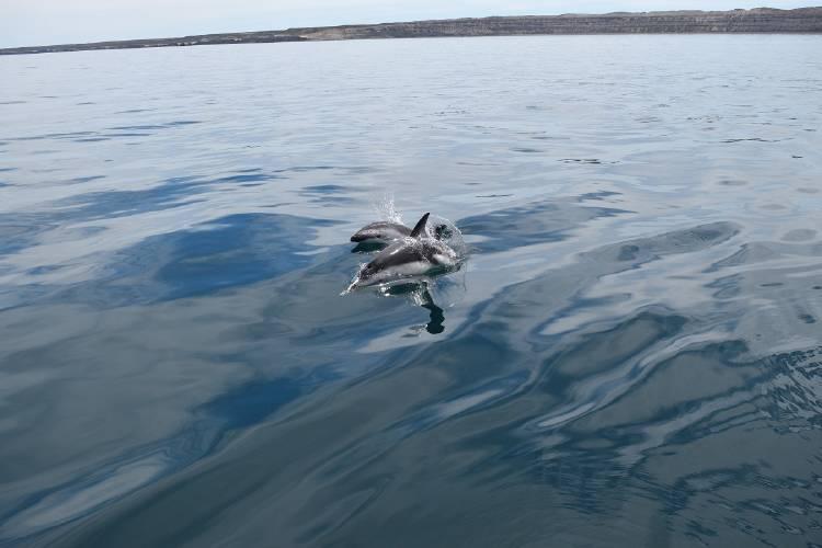 Delfin oscuro patagónico III