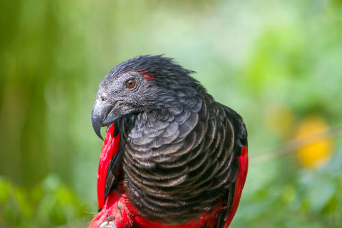 El loro de Drácula: un ave realmente diferente a las demás