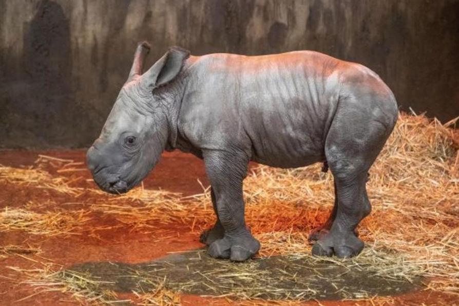 Un parque en Inglaterra le da la bienvenida a un pequeño rinoceronte blanco en peligro de extinción