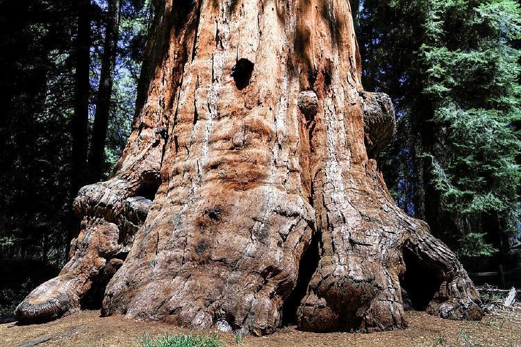 sequioa-tree-1752848_960_720