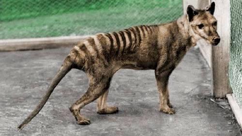 ¿Está extinto el tigre de tasmania?