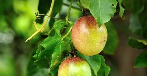 Cómo cultivar maracuyá en macetas