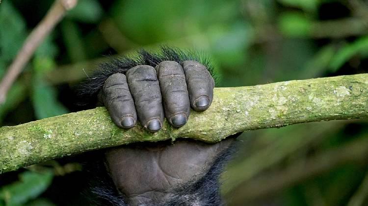 Gorila 2 3
