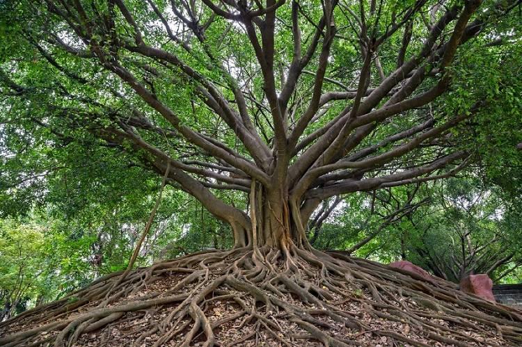 Árbol baniano