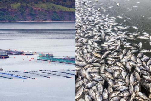 Muerte masiva de peces pone a la industria salmonera chilena en la mira