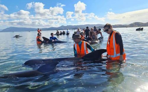 Nueva Zelanda rescató a decenas de ballenas varadas en su costa