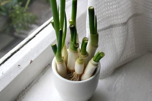 Cómo plantar tu propia planta de cebollines, ¡y ahorrar dinero!