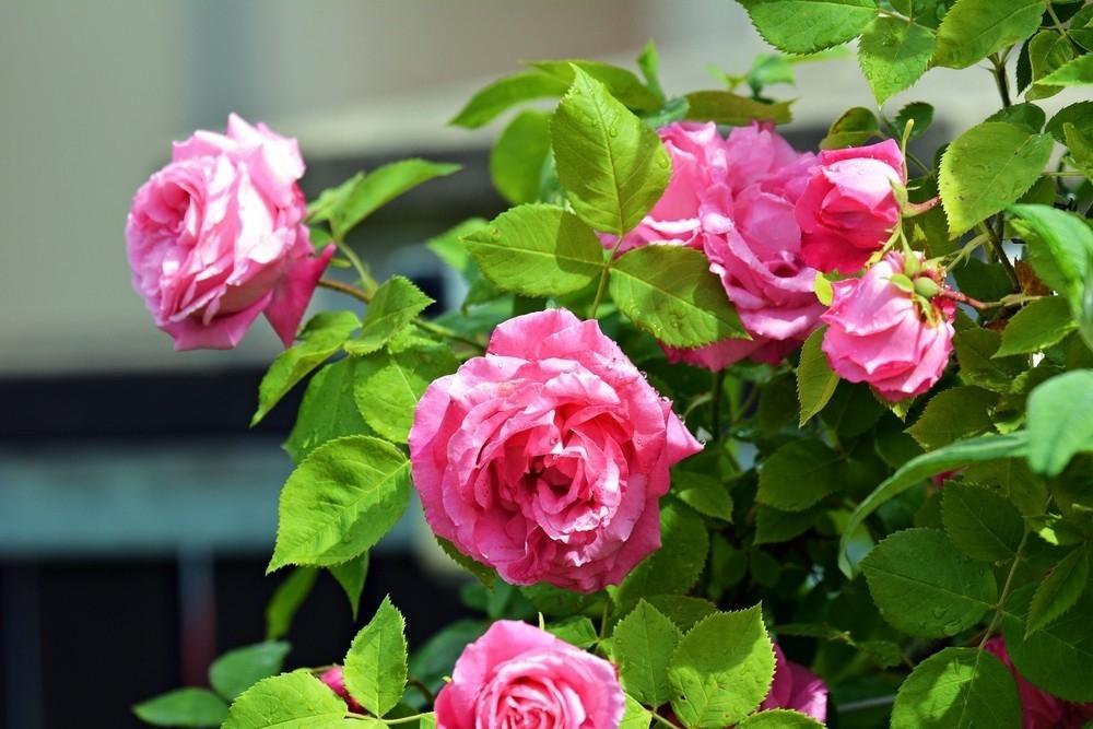C mo cultivar rosales con la ayuda de una patata for Como cultivar patatas