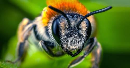 Así es la abeja más grande del mundo