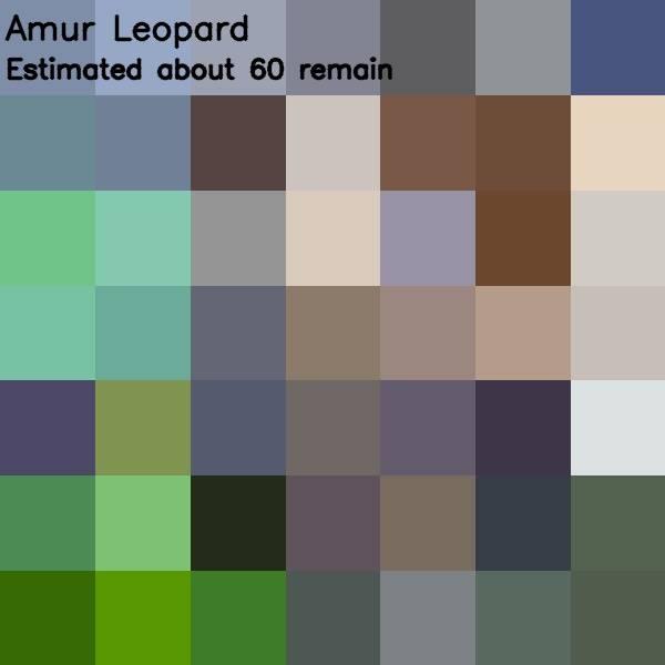 15 - amur leopard 60