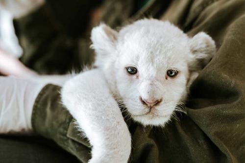 Cuatro leones nacen en un zoológico de China y sorprenden por su extraño color