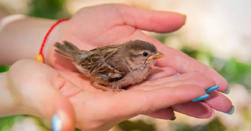 Esto es lo que debes hacer si encuentras un polluelo abandonado y quieres cuidar