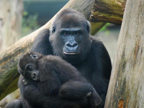 Nace un gorila en peligro crítico en el Zoológico de Bristol