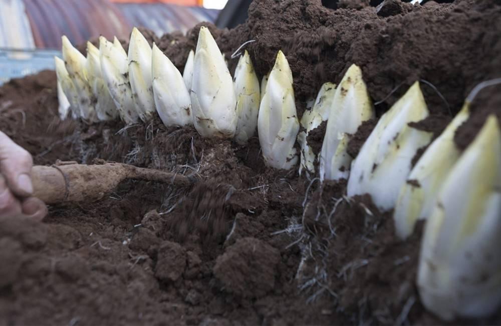 Cómo cultivar endivias en casa