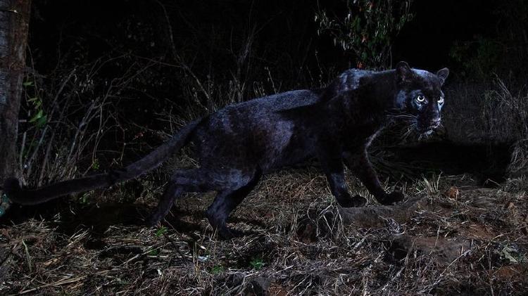 leopardo negro 3