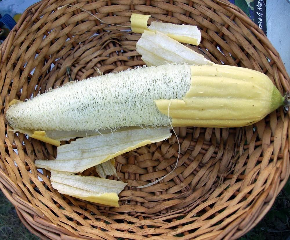 Cómo Cultivar Luffa Para Hacer Tu Propia Esponja Vegetal En Casa Bioguia