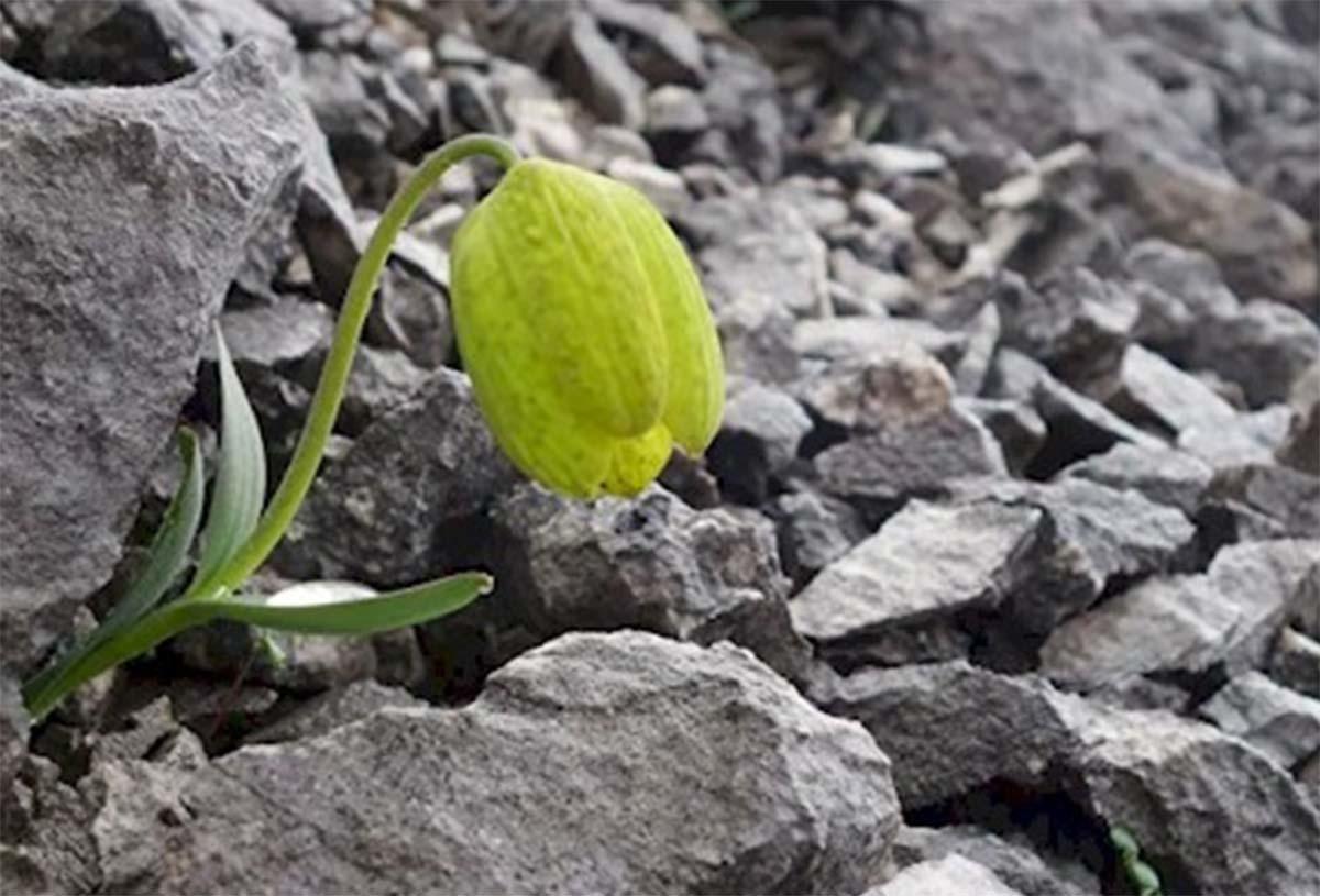 Una flor china ha evolucionado para esconderse de los humanos