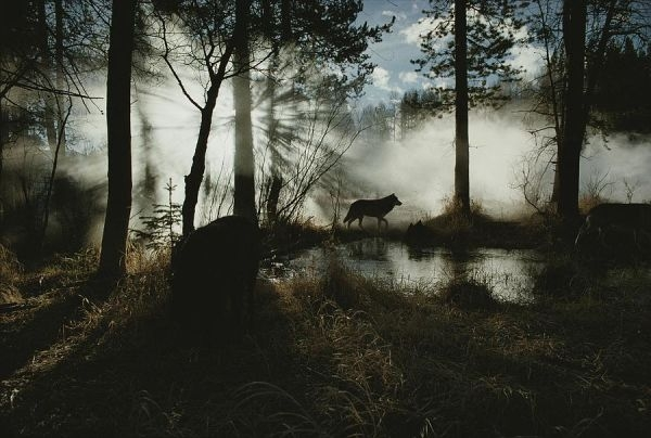 1-a-gray-wolf-canis-lupus-in-silhouette-jim-and-jamie-dutcher