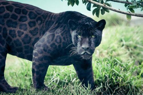 Logran fotografiar a un extraño leopardo negro en la India