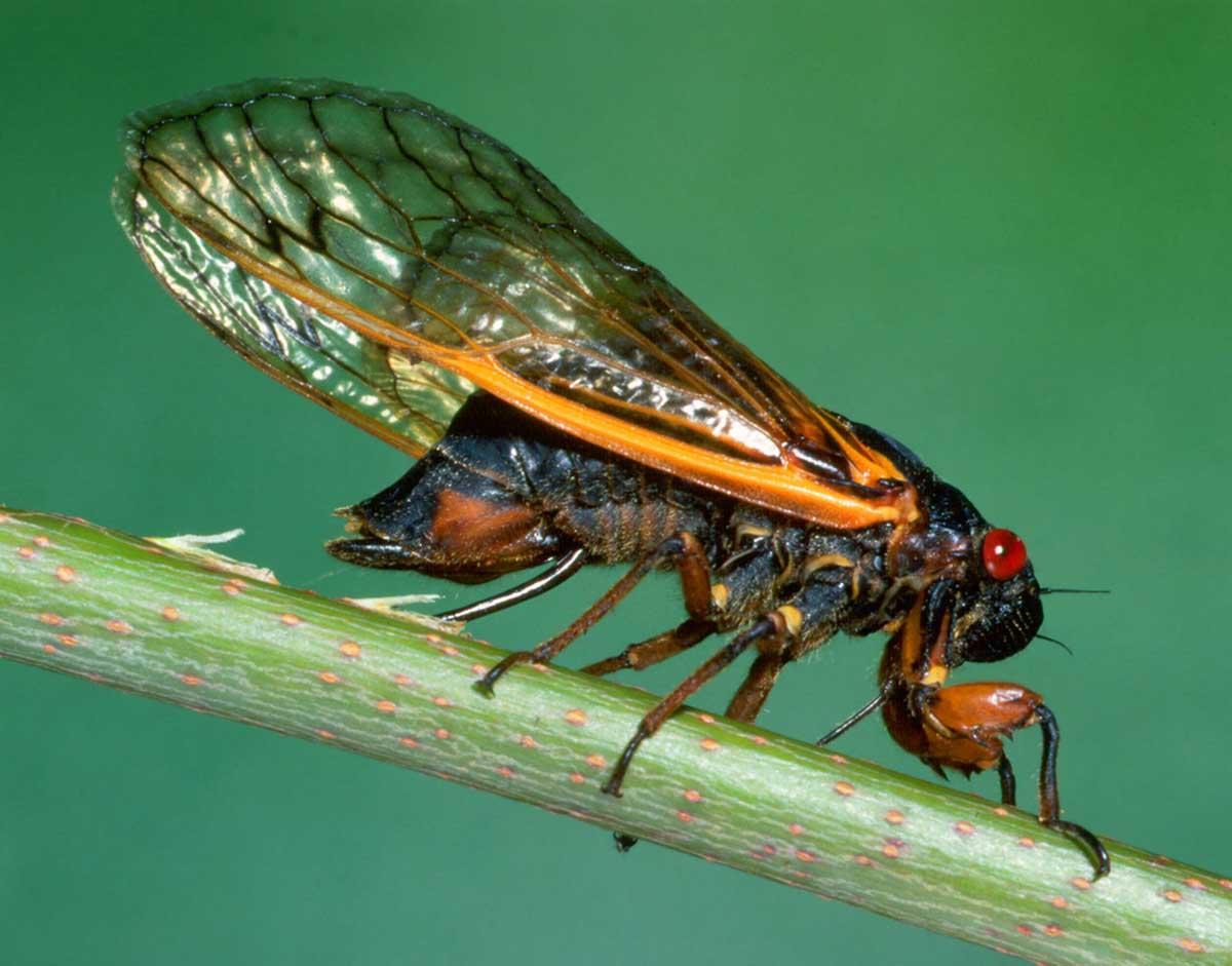 Estados Unidos se prepara para la invasión de un extraño insecto que pasó 17 años bajo tierra