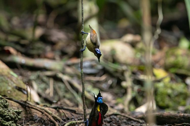 Danza del cortejo, hembra de wilson parada en la parte superior de una rama y macho en el suelo con el pico abierto, con el fondo del bosque-min