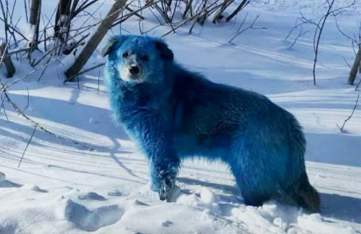 Los misteriosos perros azules que aparecieron en las calles de Rusia