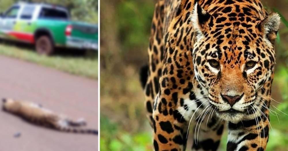 Atropellaron por accidente a un yaguareté dentro de un área protegida