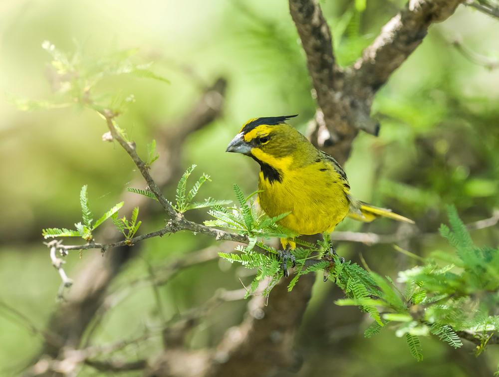 Cardenal Amarillo: un ave en peligro de extinción debido al tráfico ilegal