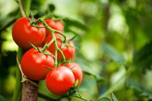Científicos intentan recuperar el sabor del tomate