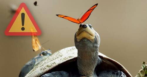 Mariposas y abejas del Amazonas están bebiendo lágrimas de tortugas para sob..