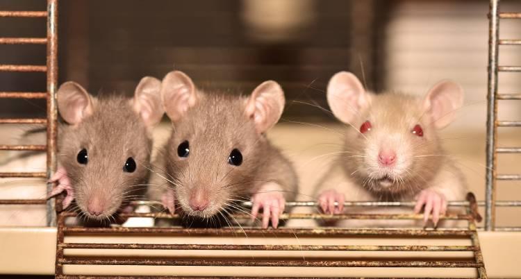 Alerta de Covid-19: ratas del sudeste asiático albergan el virus