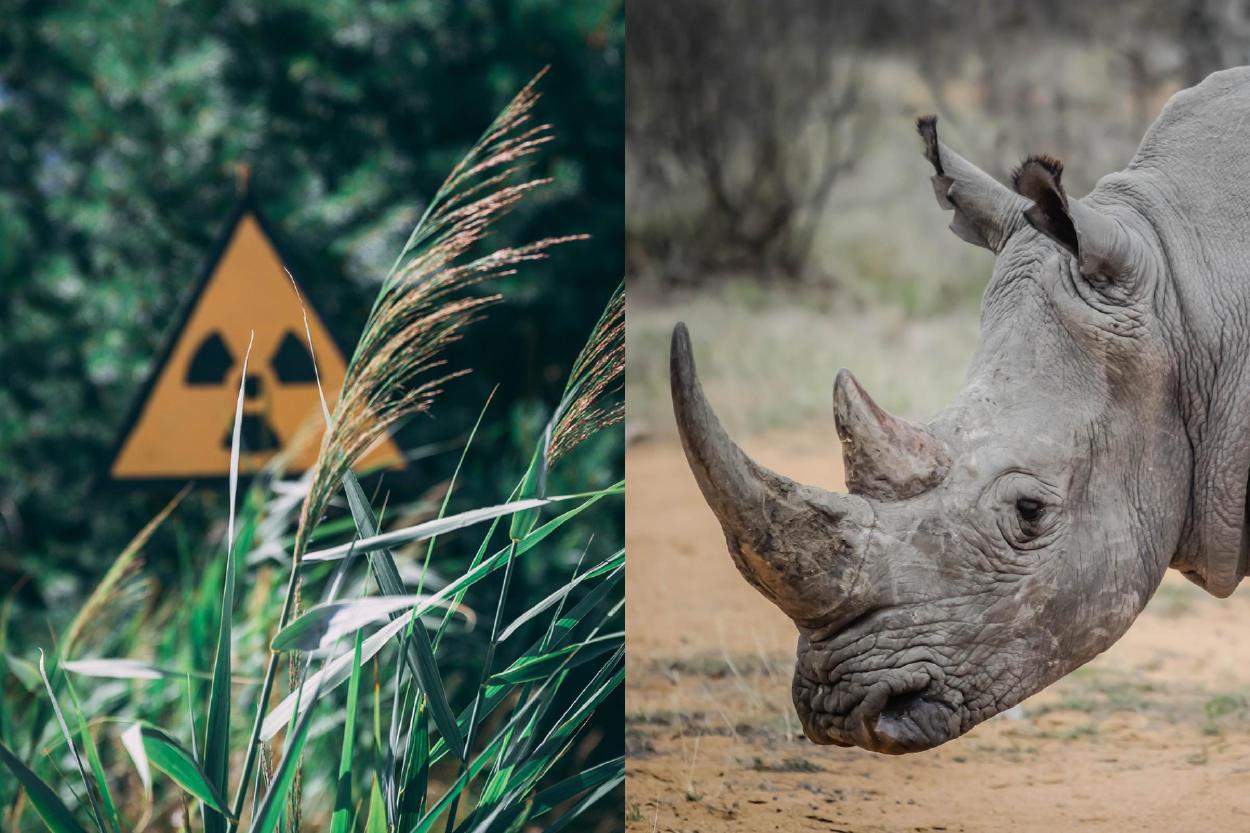 Sudáfrica: proponen inyectar cuernos de rinoceronte con material radiactivo para