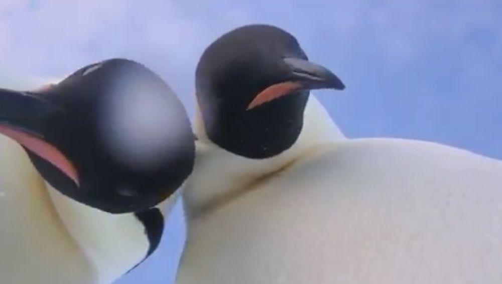 """Una pareja de pingüinos emperador se tomó un """"video-selfie"""" en la Antártida"""
