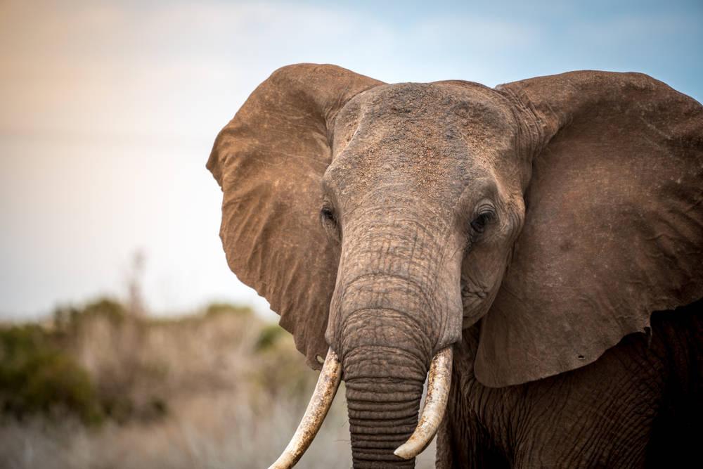 El número de elefantes en Kenia se duplicó en las últimas tres décadas