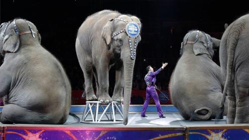 Elefantes de circo serán trasladados a un centro de conservación en Florida