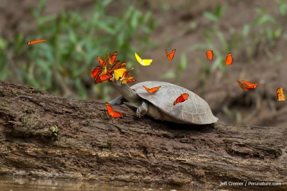 A diferencia de las mariposas, las tortugas obtienen suficiente sodio a través de su dieta carnívora