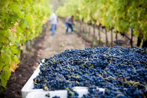 El cambio climático podría destruir un 85% de los viñedos