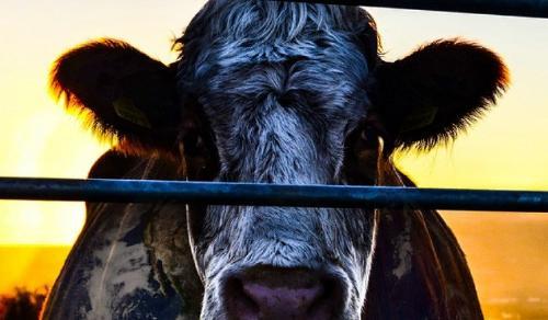 Cowspiracy, el documental sobre la contaminación que ejerce la ganadería