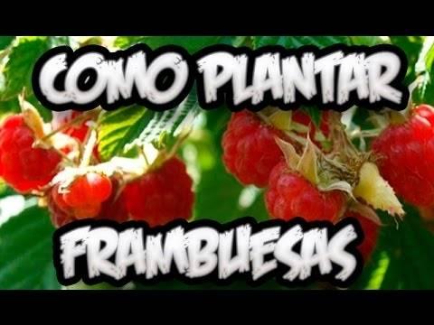 Cómo plantar frambuesas