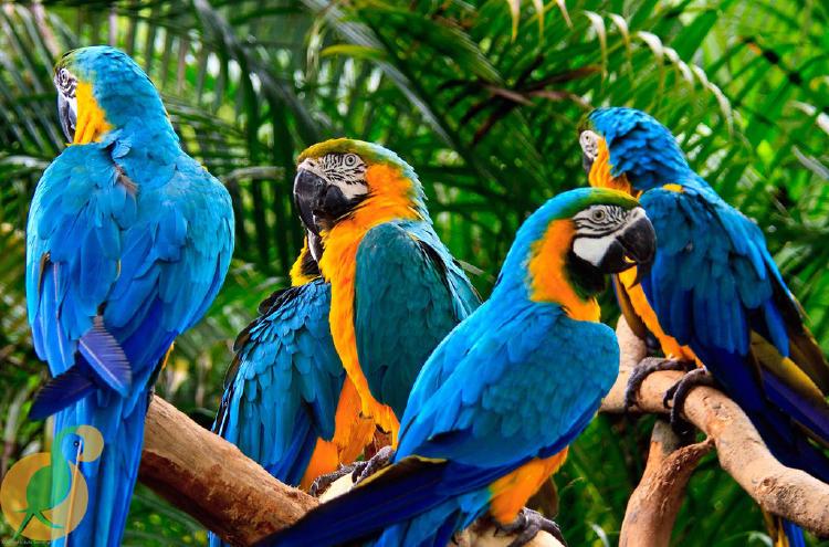 Grupo de paraba barba azul