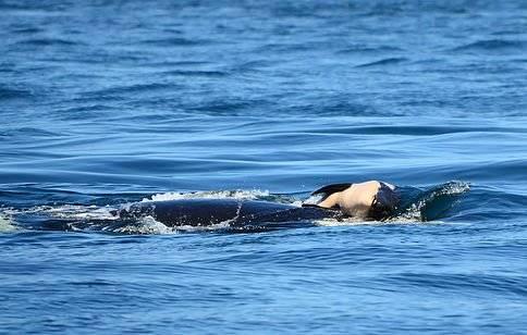 El amor animal: lo que esta orca hizo durante 3 días te sacará sin dudas una lágrima