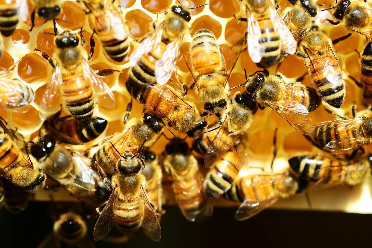 Filman por primera vez el funcionamiento interno completo de un panal de abejas