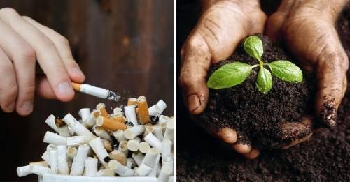 ¡Increíble! Transforman colillas de cigarrillo en fertilizantes