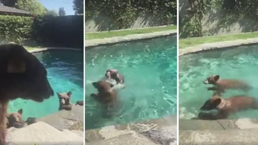Video viral: esta familia de osos moría de ganas de nadar