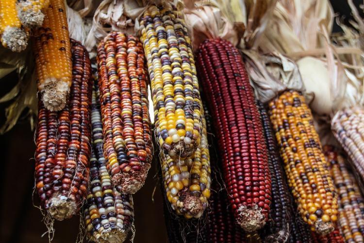granos enteros maíz