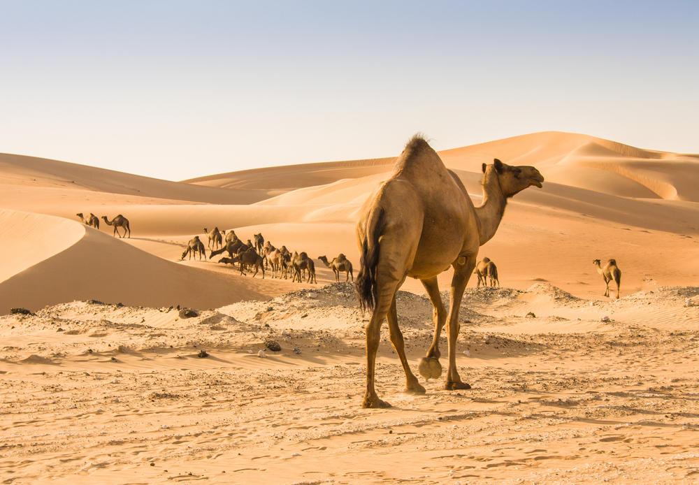 Cientos de camellos han muerto debido a la ingesta de plásticos