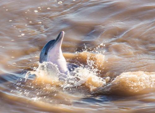 Declaran al delfín gris en peligro de extinción por la deforestación en el Amazonas