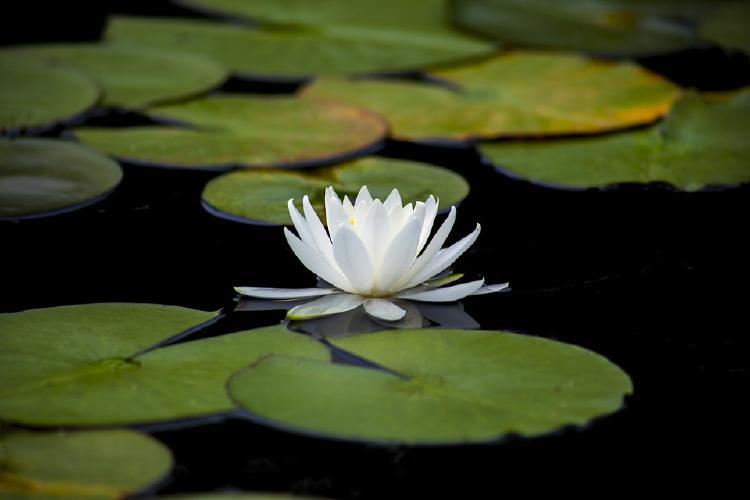 Flor de loto blanca